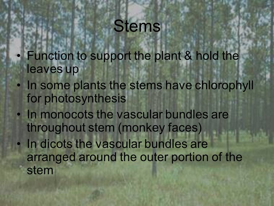 Stems Function to support the plant & hold the leaves up In some plants the stems have chlorophyll for photosynthesis In monocots the vascular bundles are throughout stem (monkey faces) In dicots the vascular bundles are arranged around the outer portion of the stem