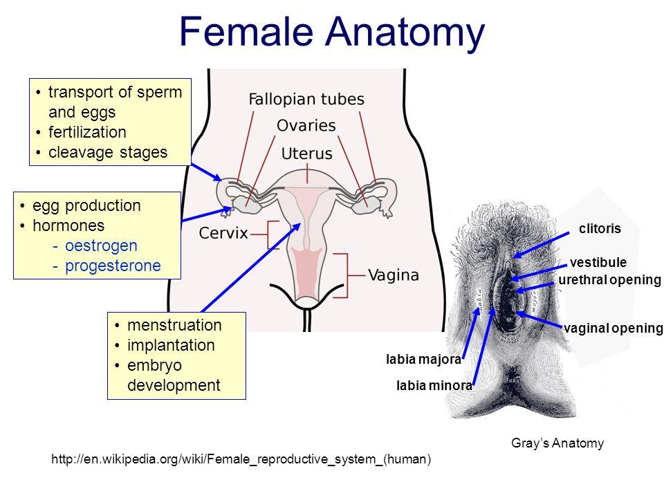 Amazing Female Anatomy Wikipedia Ornament - Anatomy Ideas - yunoki.info
