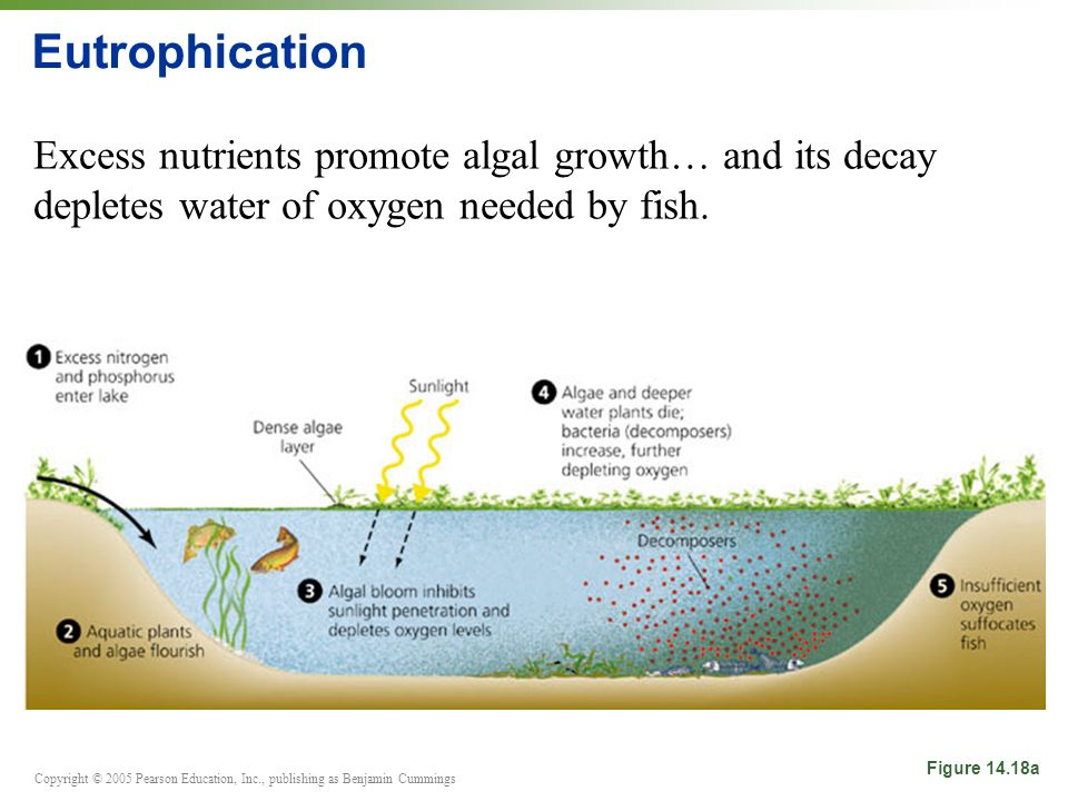 Copyright © 2005 Pearson Education, Inc., publishing as Benjamin Cummings Eutrophication Excess nutrients promote algal growth… and its decay depletes water of oxygen needed by fish.
