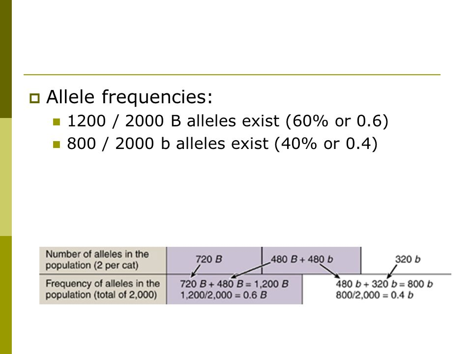  Allele frequencies: 1200 / 2000 B alleles exist (60% or 0.6) 800 / 2000 b alleles exist (40% or 0.4)