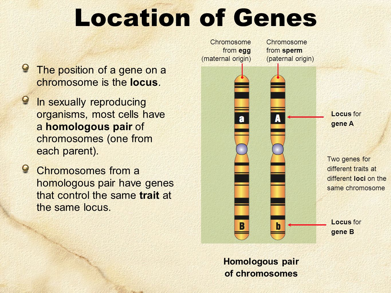 Location of Genes The position of a gene on a chromosome is the locus.