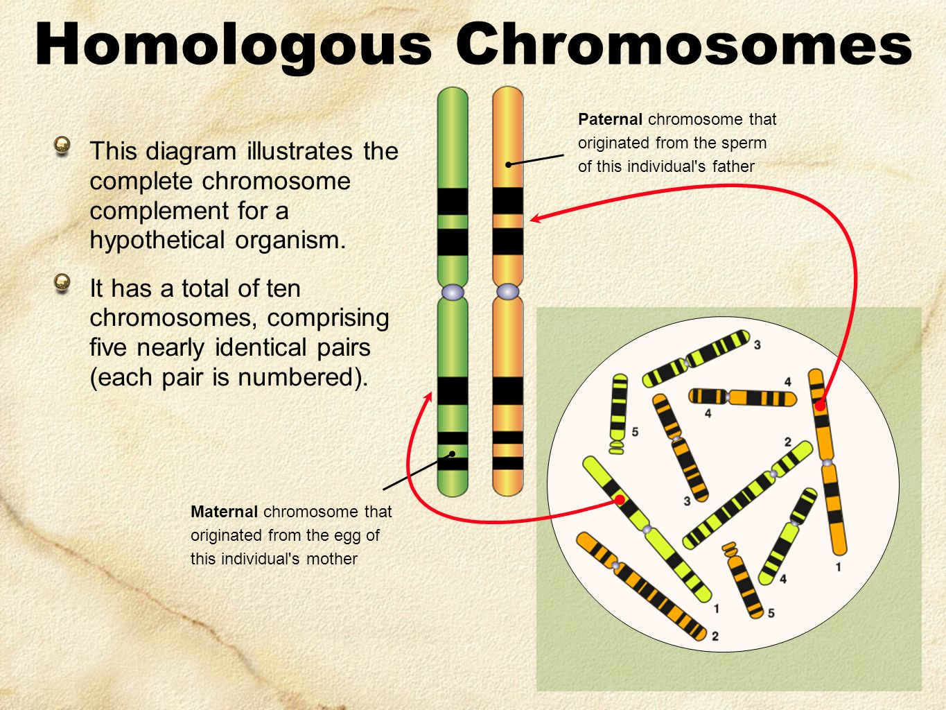 Homologous Chromosomes This diagram illustrates the complete chromosome complement for a hypothetical organism.