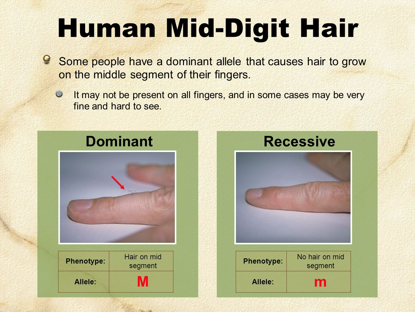 Recessive Phenotype: No hair on mid segment Allele: m Human Mid-Digit Hair Some people have a dominant allele that causes hair to grow on the middle segment of their fingers.