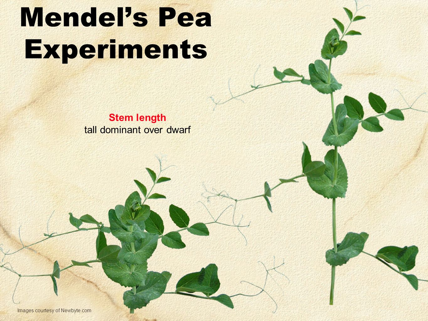 Mendel's Pea Experiments Stem length tall dominant over dwarf Images courtesy of Newbyte.com