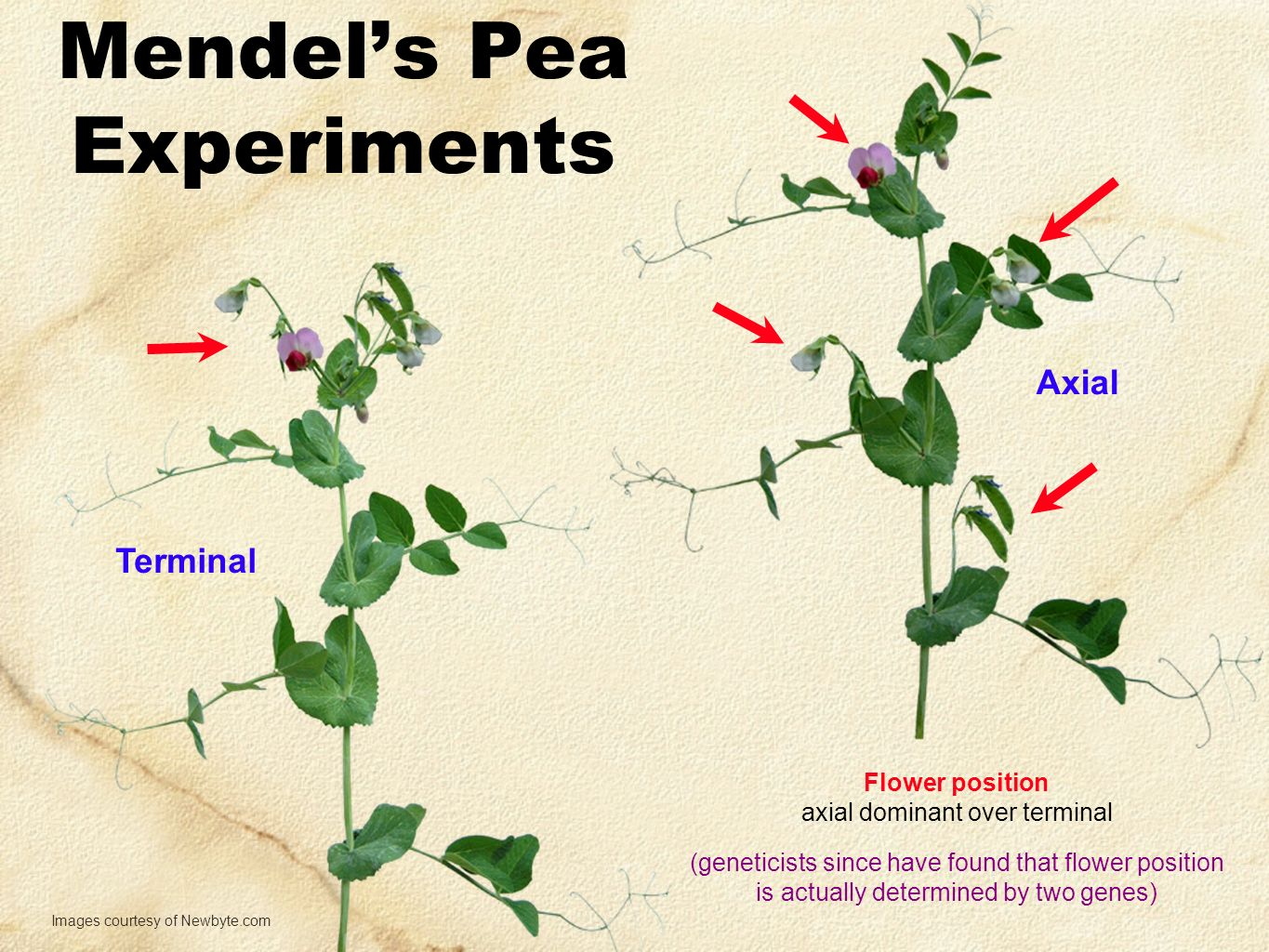 Mendel's Pea Experiments Flower position axial dominant over terminal Images courtesy of Newbyte.com Terminal Axial (geneticists since have found that flower position is actually determined by two genes)