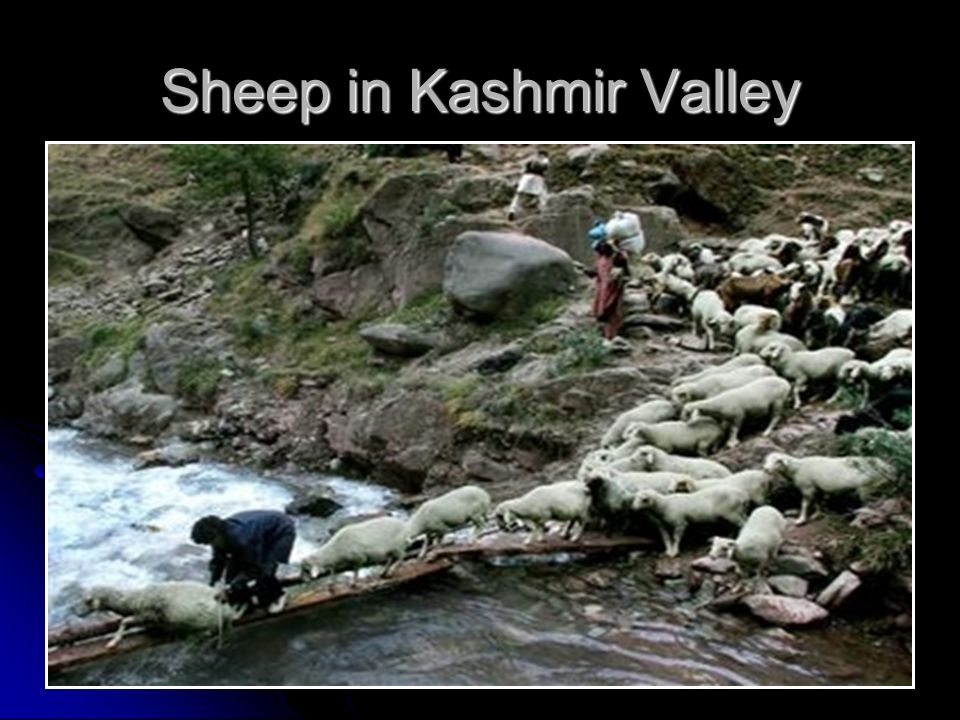 Sheep in Kashmir Valley