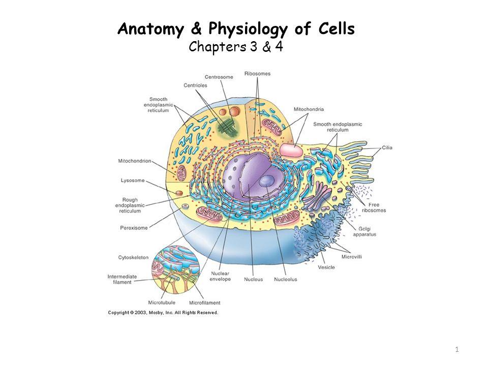 Nett Anatomy And Physiology Cells Bilder - Menschliche Anatomie ...