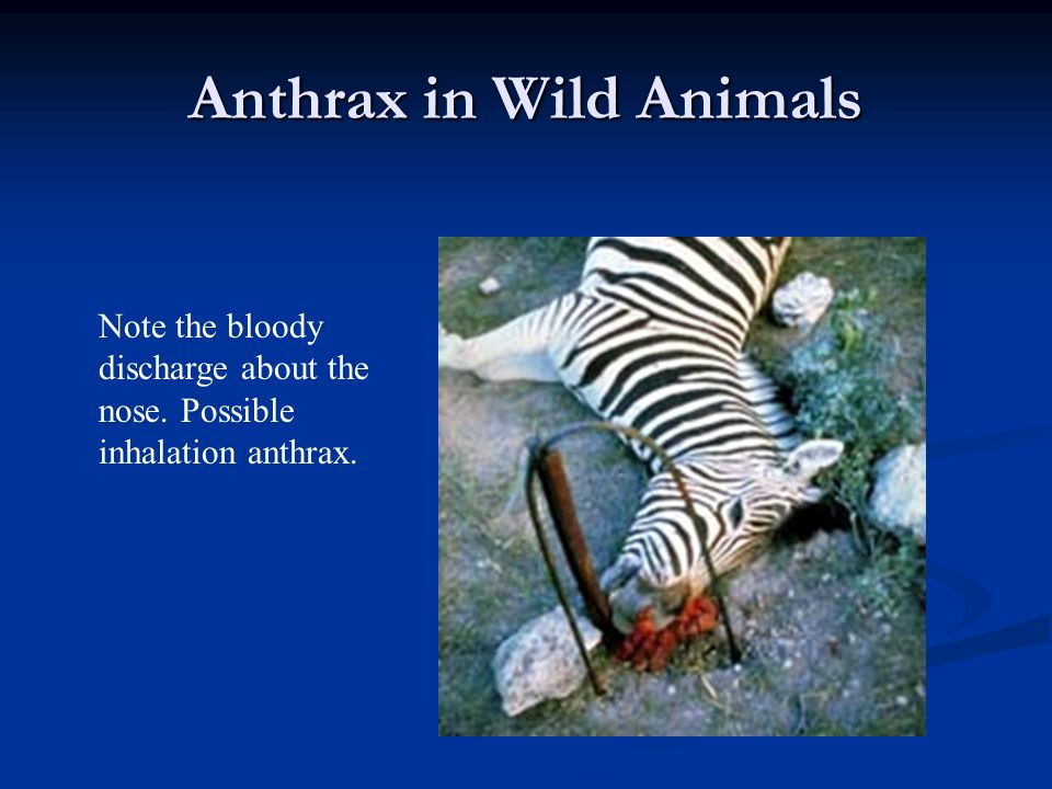 Anthrax in Wild Animals Note the bloody discharge about the nose. Possible inhalation anthrax.