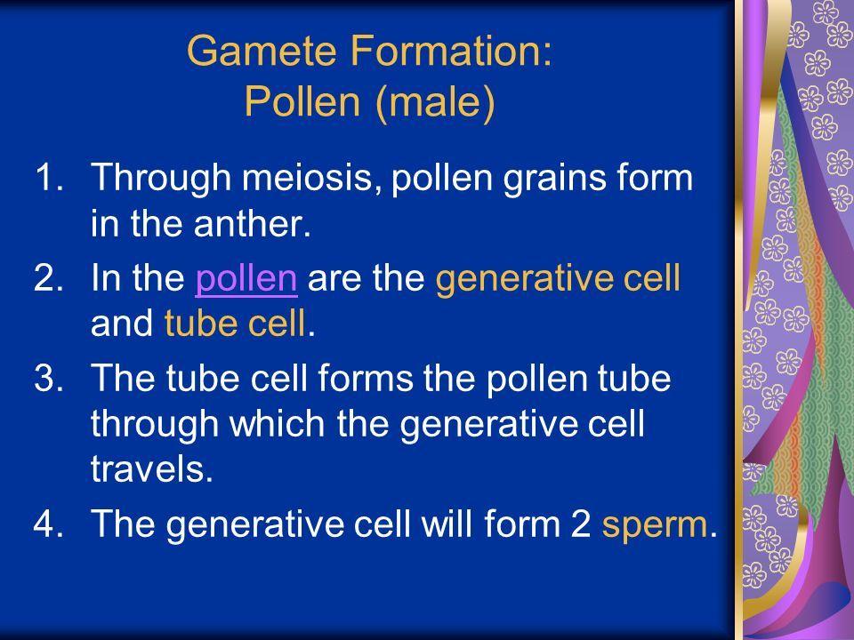 Gamete Formation: Pollen (male) 1.Through meiosis, pollen grains form in the anther.