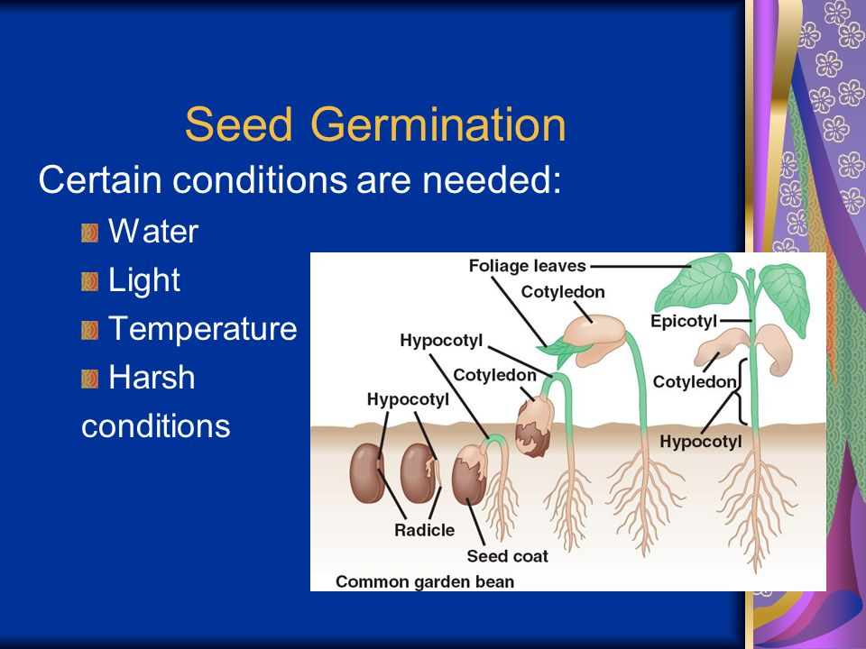Seed Germination Certain conditions are needed: Water Light Temperature Harsh conditions
