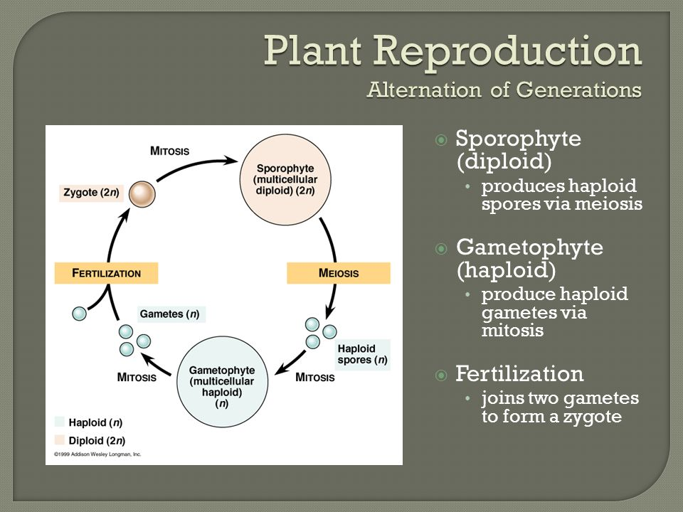Plant Reproduction Alternation of Generations  Sporophyte (diploid) produces haploid spores via meiosis  Gametophyte (haploid) produce haploid gametes via mitosis  Fertilization joins two gametes to form a zygote