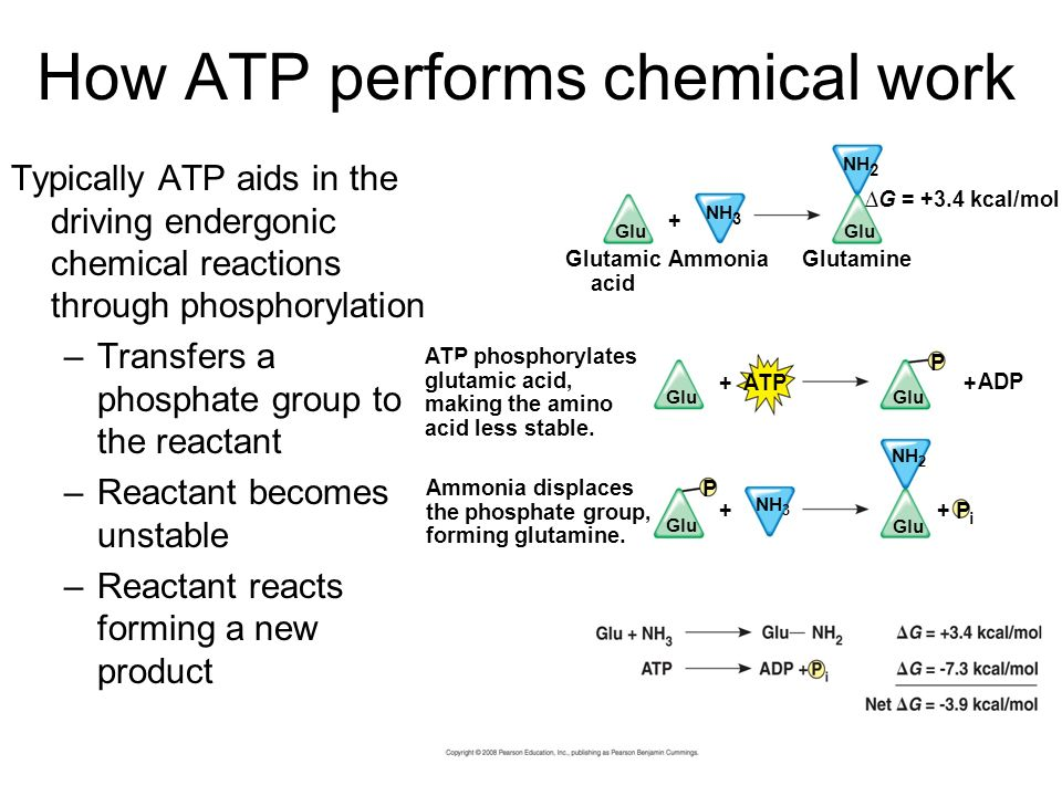 How ATP performs chemical work Typically ATP aids in the driving endergonic chemical reactions through phosphorylation –Transfers a phosphate group to the reactant –Reactant becomes unstable –Reactant reacts forming a new product Ammonia displaces the phosphate group, forming glutamine.