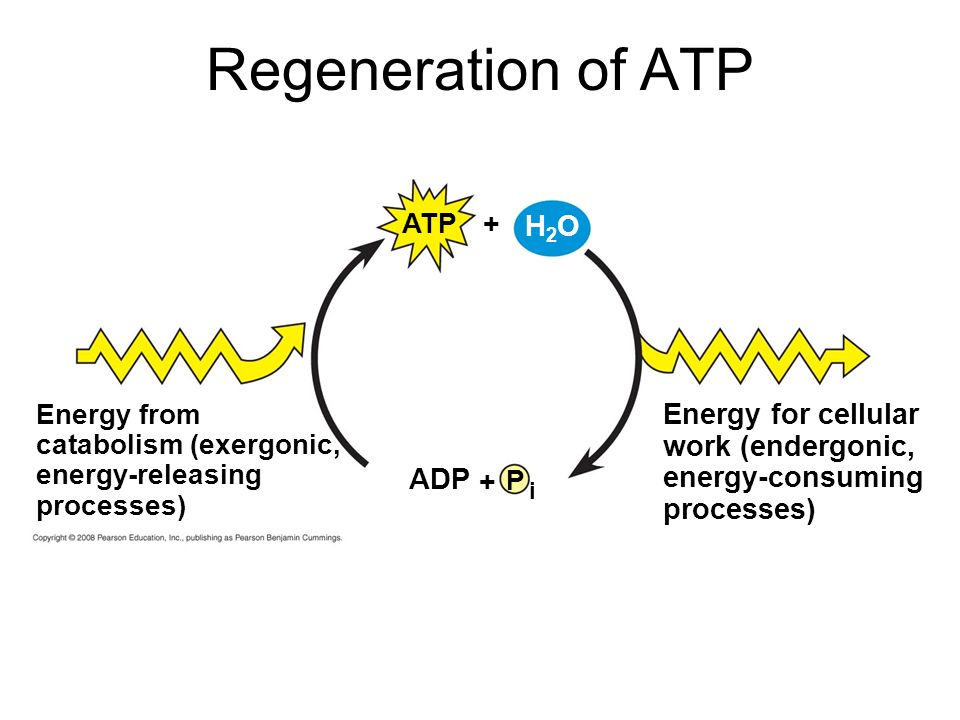 Regeneration of ATP P i ADP + Energy from catabolism (exergonic, energy-releasing processes) Energy for cellular work (endergonic, energy-consuming processes) ATP + H2OH2O