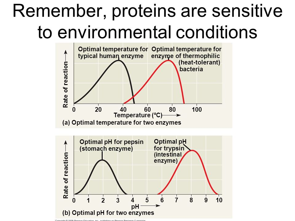 Remember, proteins are sensitive to environmental conditions Rate of reaction Optimal temperature for enzyme of thermophilic (heat-tolerant) bacteria Optimal temperature for typical human enzyme (a) Optimal temperature for two enzymes (b) Optimal pH for two enzymes Rate of reaction Optimal pH for pepsin (stomach enzyme) Optimal pH for trypsin (intestinal enzyme) Temperature (ºC) pH