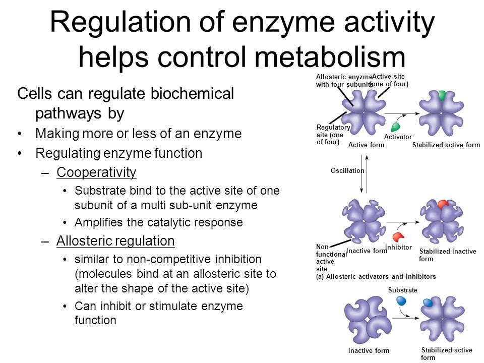 Regulation of enzyme activity helps control metabolism Cells can regulate biochemical pathways by Making more or less of an enzyme Regulating enzyme function –Cooperativity Substrate bind to the active site of one subunit of a multi sub-unit enzyme Amplifies the catalytic response –Allosteric regulation similar to non-competitive inhibition (molecules bind at an allosteric site to alter the shape of the active site) Can inhibit or stimulate enzyme function Allosteric enyzme with four subunits Active site (one of four) Regulatory site (one of four) Active form Activator Stabilized active form Oscillation Non- functional active site Inhibitor Inactive form Stabilized inactive form (a) Allosteric activators and inhibitors Substrate Inactive form Stabilized active form (b) Cooperativity: another type of allosteric activation
