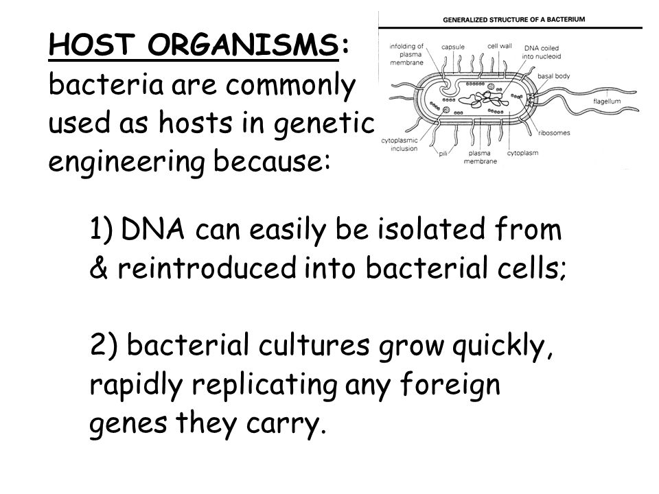 HOST ORGANISMS: bacteria are commonly used as hosts in genetic engineering because: 1) DNA can easily be isolated from & reintroduced into bacterial cells; 2) bacterial cultures grow quickly, rapidly replicating any foreign genes they carry.