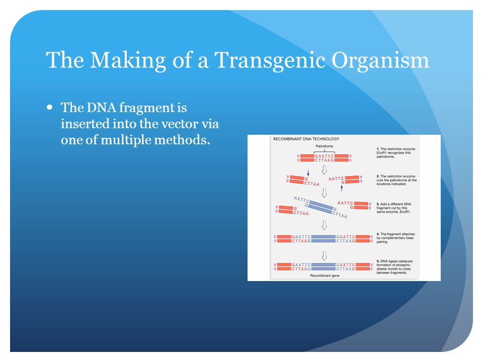 The Making of a Transgenic Organism The DNA fragment is inserted into the vector via one of multiple methods.