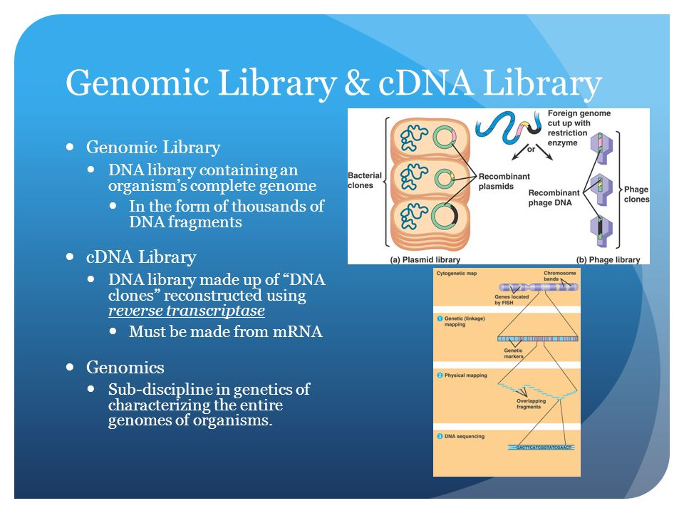 Genomic Library & cDNA Library Genomic Library DNA library containing an organism's complete genome In the form of thousands of DNA fragments cDNA Library DNA library made up of DNA clones reconstructed using reverse transcriptase Must be made from mRNA Genomics Sub-discipline in genetics of characterizing the entire genomes of organisms.