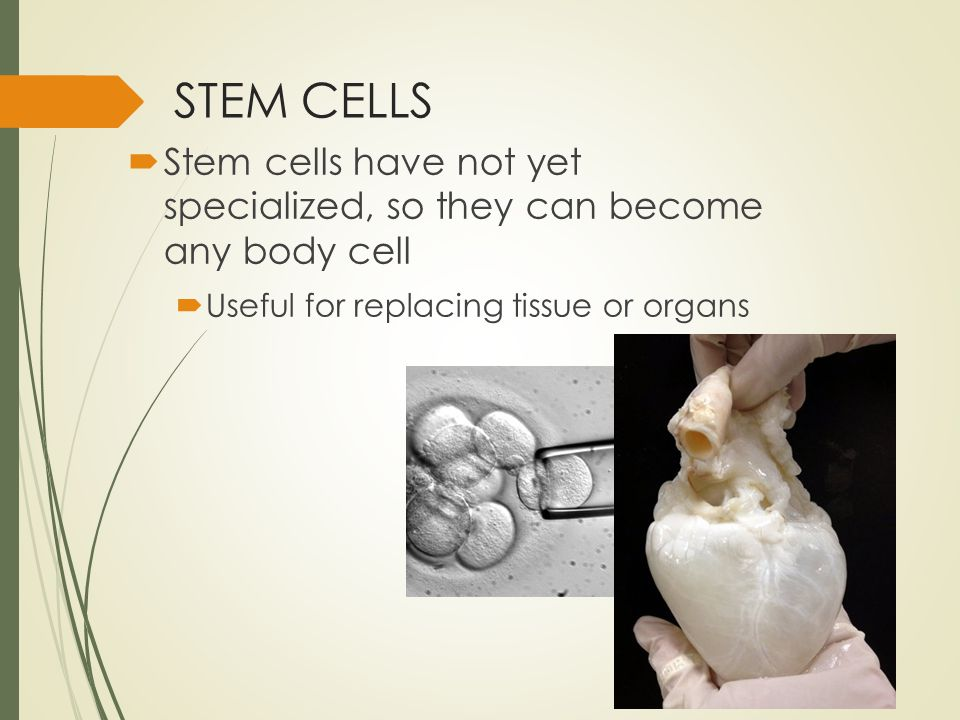 STEM CELLS  Stem cells have not yet specialized, so they can become any body cell  Useful for replacing tissue or organs