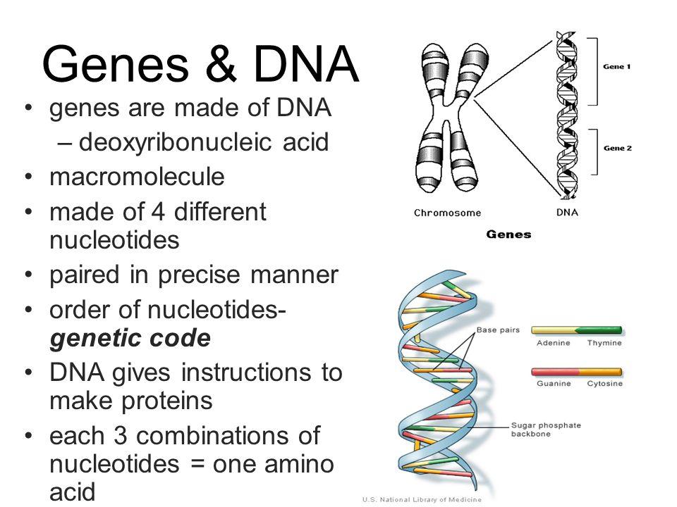 Dna molecular biology of the gene genes biological blueprints give 4 genes dna malvernweather Image collections