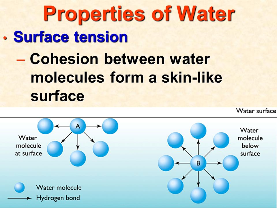 Properties of Water Surface tension Surface tension – Cohesion between water molecules form a skin-like surface