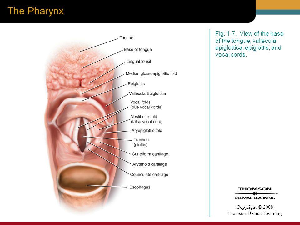 Fine Base Of Tongue Anatomy Gallery - Anatomy Ideas - yunoki.info