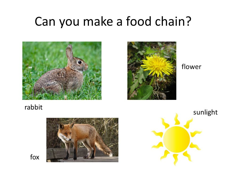 Can you make a food chain rabbit flower fox sunlight