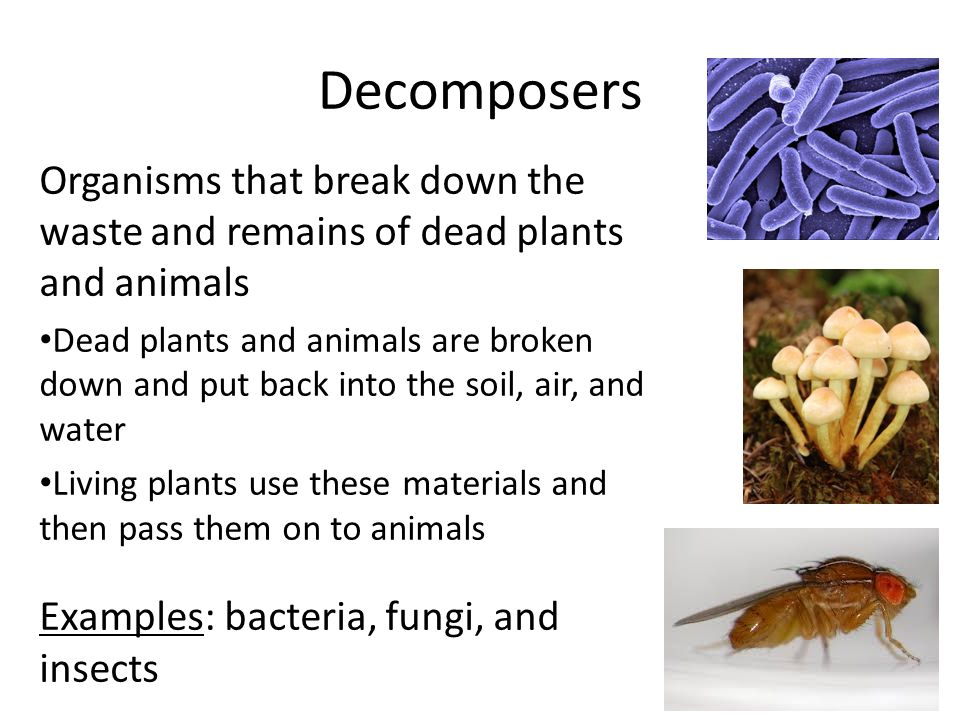Decomposers Organisms that break down the waste and remains of dead plants and animals Dead plants and animals are broken down and put back into the soil, air, and water Living plants use these materials and then pass them on to animals Examples: bacteria, fungi, and insects