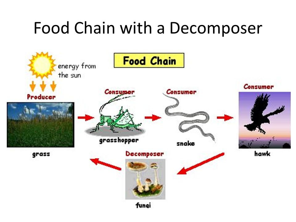 Food Chain with a Decomposer