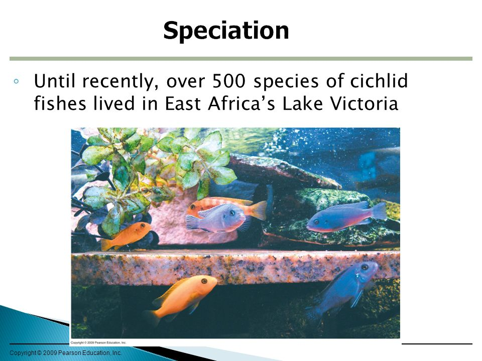 ◦ Until recently, over 500 species of cichlid fishes lived in East Africa's Lake Victoria Copyright © 2009 Pearson Education, Inc.