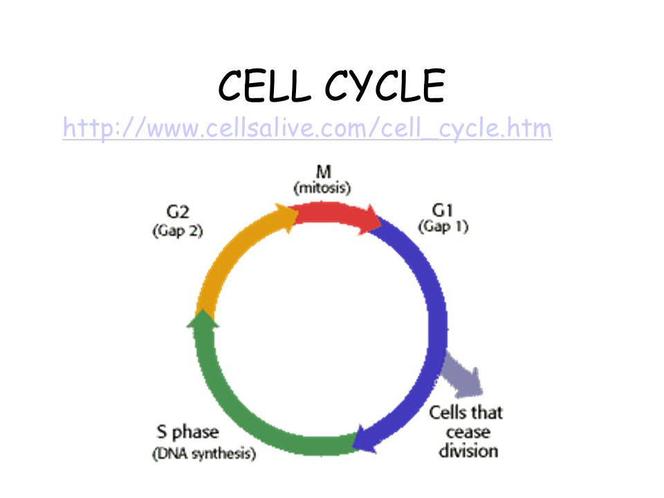 Animal cell worksheet answer key