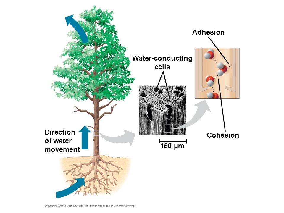 Water-conducting cells Adhesion Cohesion 150 µm Direction of water movement