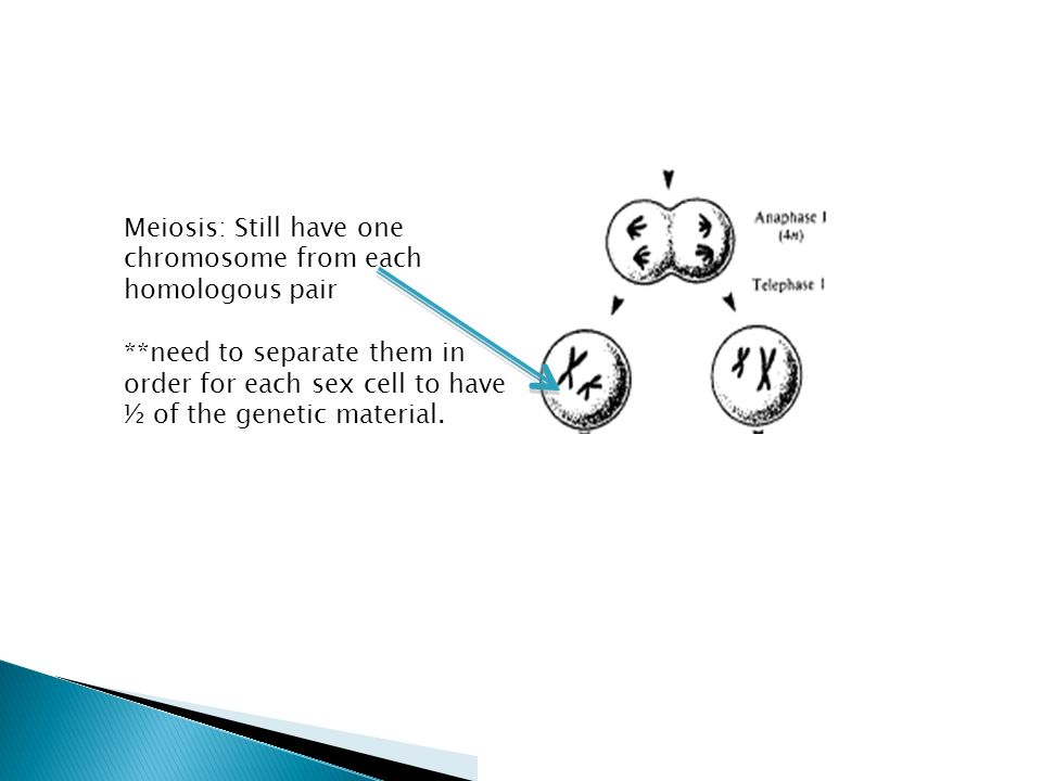 Meiosis: Still have one chromosome from each homologous pair **need to separate them in order for each sex cell to have ½ of the genetic material.