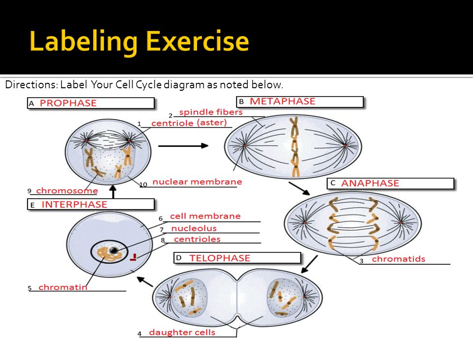 cell cycle labeling diagram cell database wiring diagram images summarize the characteristics of the cell cycle understand the