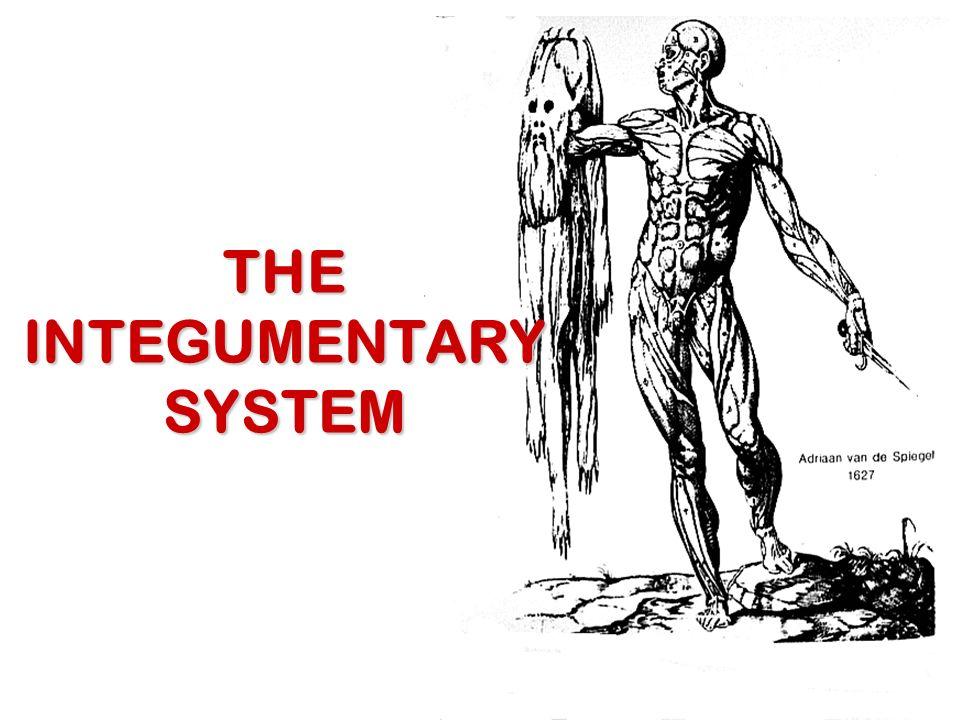 Tolle Organe Des Integumentary System Galerie - Menschliche Anatomie ...