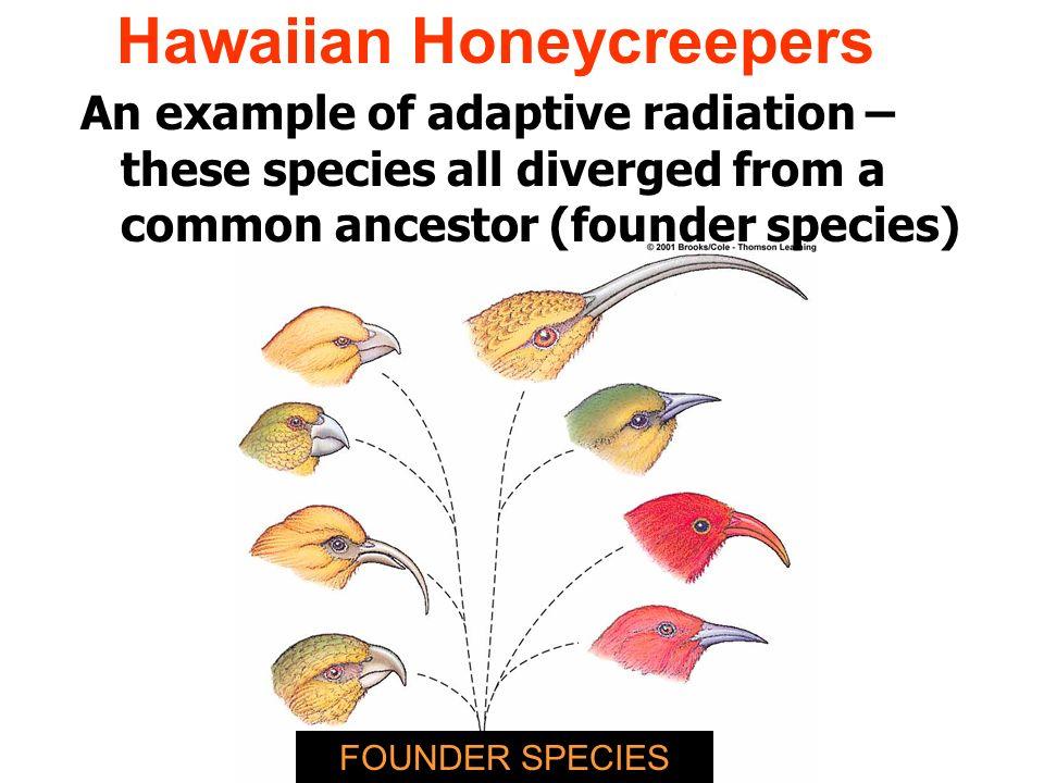 Adaptive Radiation Hawaiian Honeycreeper by Alyce Guron