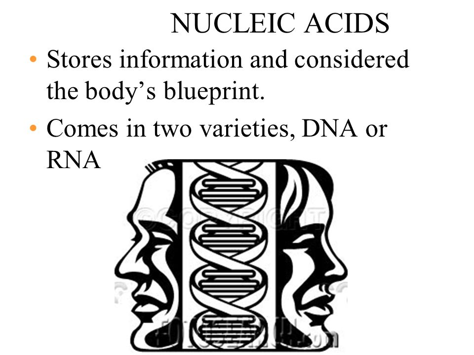 NUCLEIC ACIDS Stores information and considered the body's blueprint.