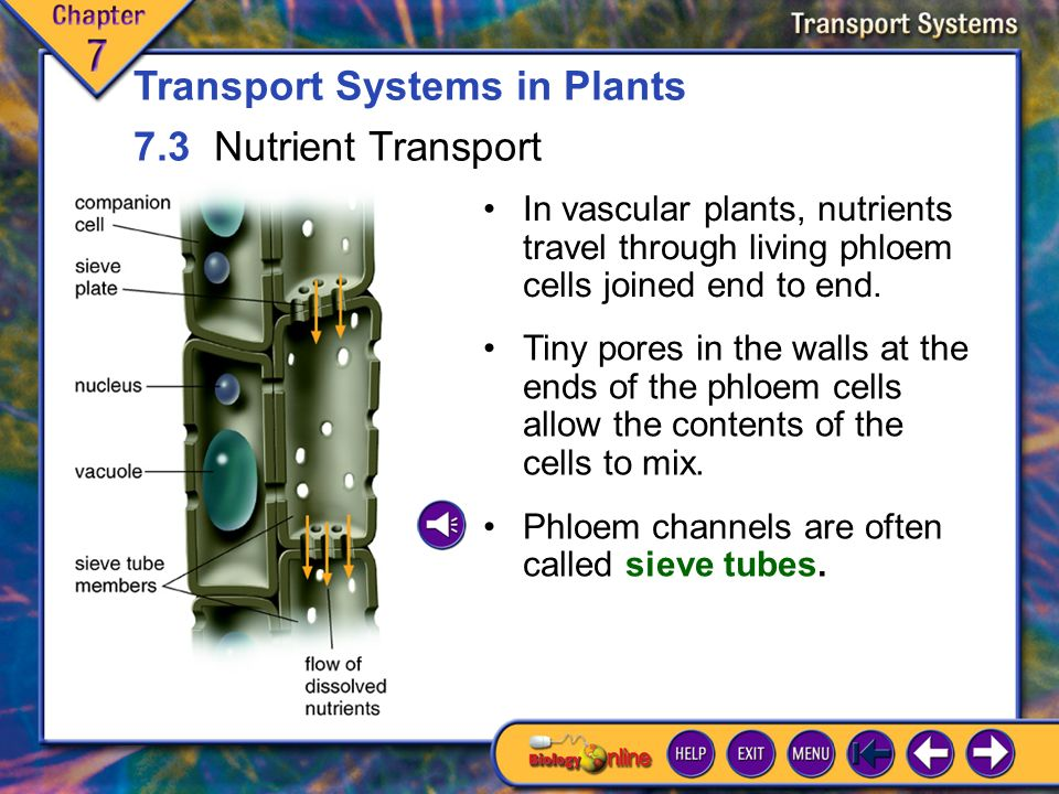 7.2 Water Transport 4 Due to cohesion, each water molecule that leaves the plant during transpiration tugs on the one behind it.