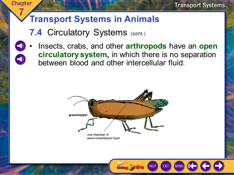 7.4 Circulatory Systems 2 Transport Systems in Animals 7.4 Circulatory Systems (cont.) Most larger animals have digestive and excretory organs and typically carry out transport with a pump (heart) and other organs and tissues, such as blood vessels and blood.