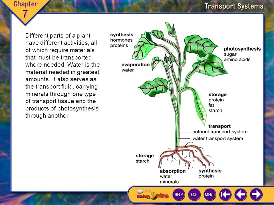 7.1 Adaptations for Life on Land 2 Two groups of plants emerged during this period: Vascular land plants differentiated into an underground root system that absorbs water and minerals and an aerial system of stems and leaves that makes food.