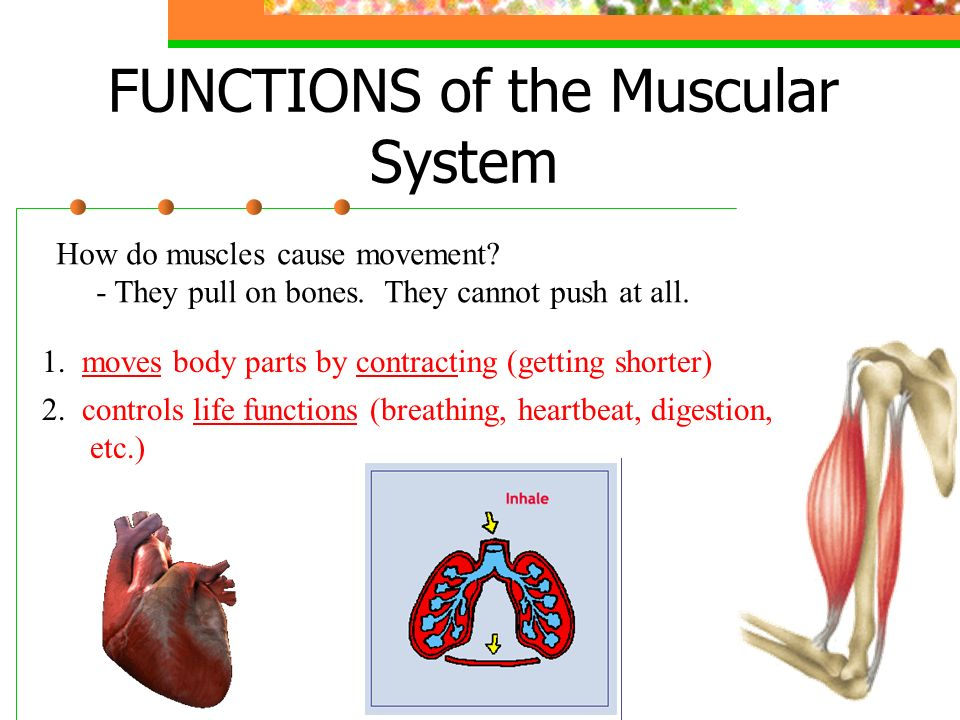 The Muscular System Yeahjust Like That Muscular System Overview