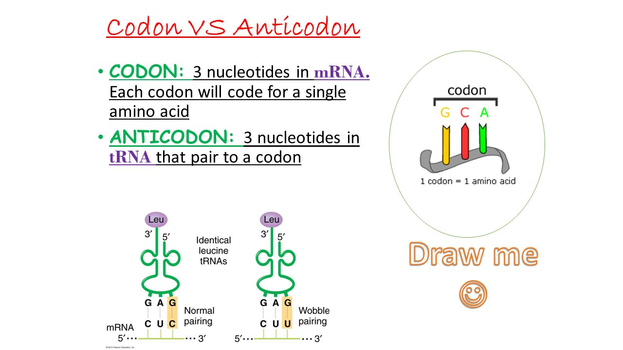 Codon VS Anticodon CODON: 3 nucleotides in mRNA.