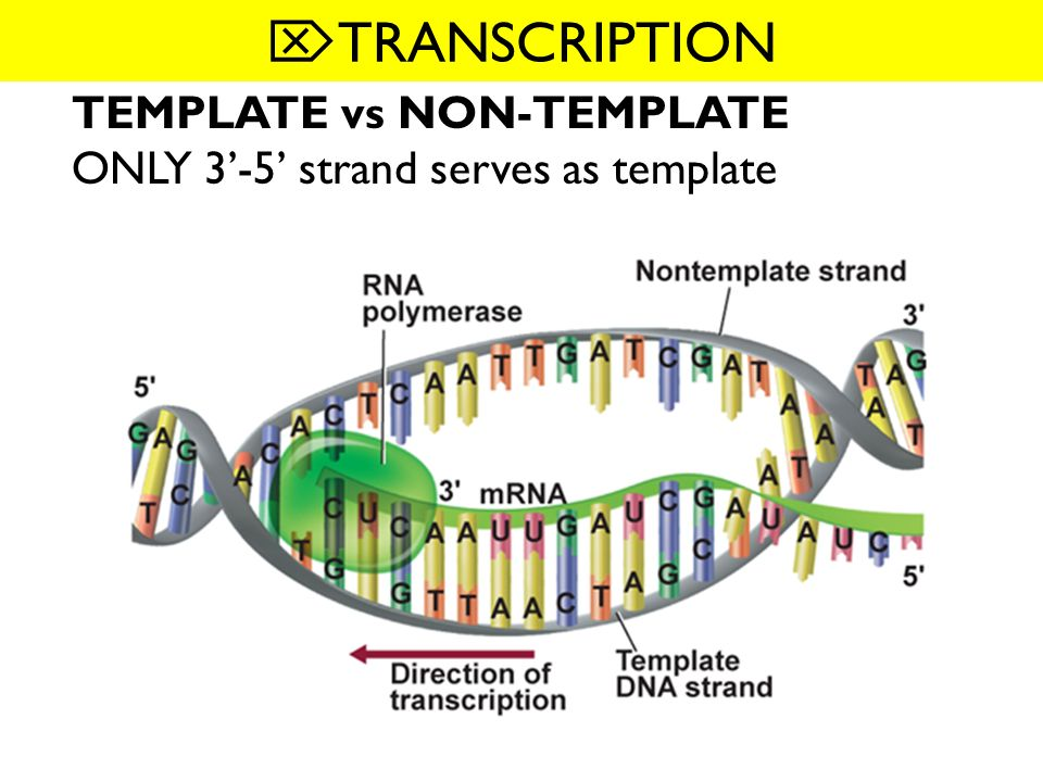 123 dna rna and protein what you will learn 3 types of rna 24 transcription 3 mrna made using dna template strand by rna polymerase 4 mrna copying stops when reaches termination 5 mrna leaves nucleus moves pronofoot35fo Choice Image