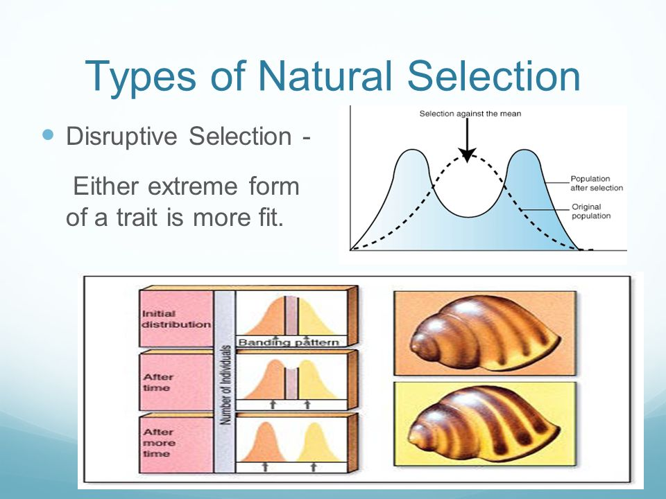 Types of Natural Selection Disruptive Selection - Either extreme form of a trait is more fit.