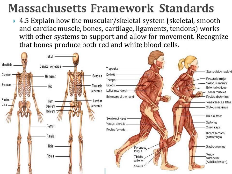 Springfield Central High School John Levasseur Skeletal System