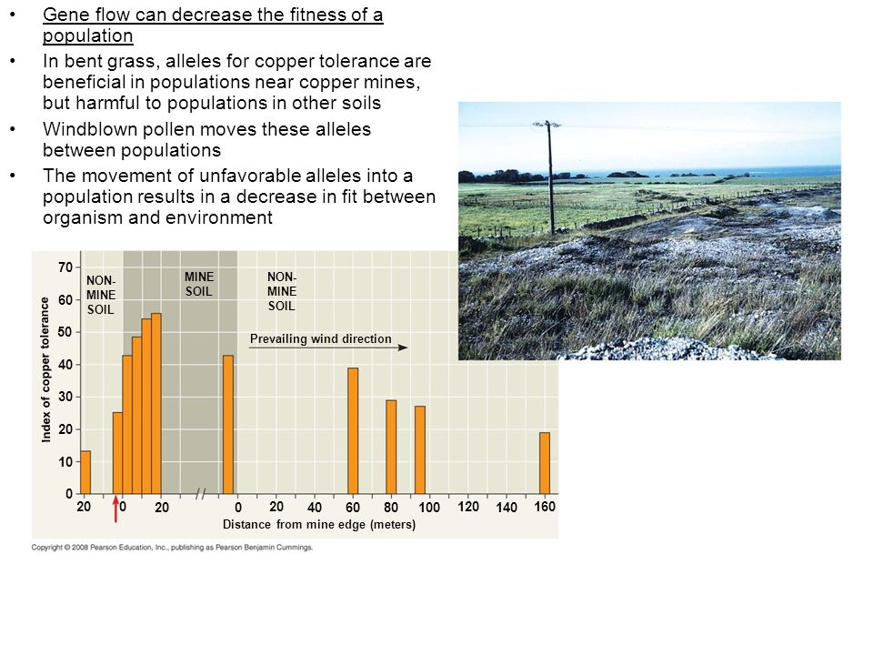 NON- MINE SOIL MINE SOIL NON- MINE SOIL Prevailing wind direction Index of copper tolerance Distance from mine edge (meters) 70 60 50 40 30 20 10 0 200 0 40 60 80 100 120 140 160 Gene flow can decrease the fitness of a population In bent grass, alleles for copper tolerance are beneficial in populations near copper mines, but harmful to populations in other soils Windblown pollen moves these alleles between populations The movement of unfavorable alleles into a population results in a decrease in fit between organism and environment