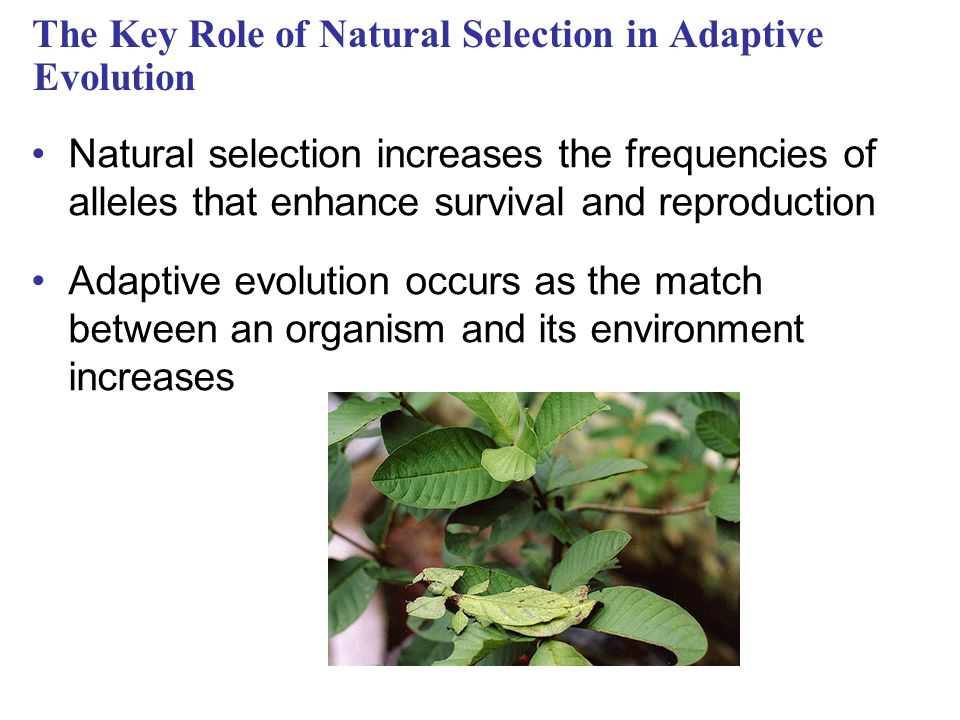 The Key Role of Natural Selection in Adaptive Evolution Natural selection increases the frequencies of alleles that enhance survival and reproduction Adaptive evolution occurs as the match between an organism and its environment increases