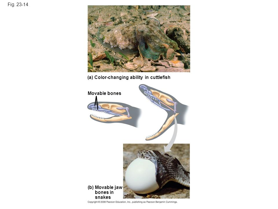 Fig. 23-14 (a) Color-changing ability in cuttlefish (b) Movable jaw bones in snakes Movable bones