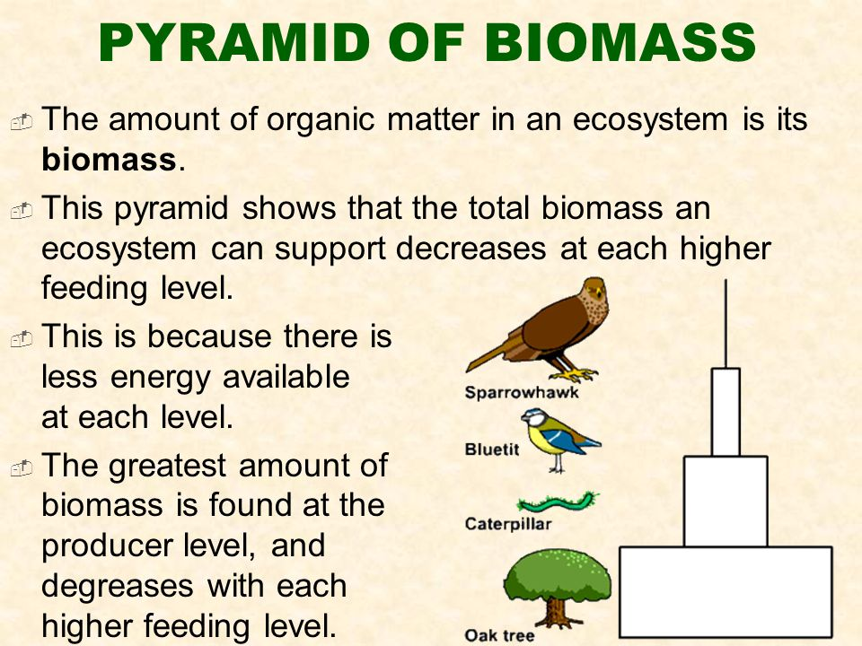 PYRAMID OF BIOMASS  The amount of organic matter in an ecosystem is its biomass.