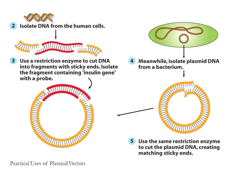 Figure 4.3 (2) Practical Uses of Plasmid Vectors